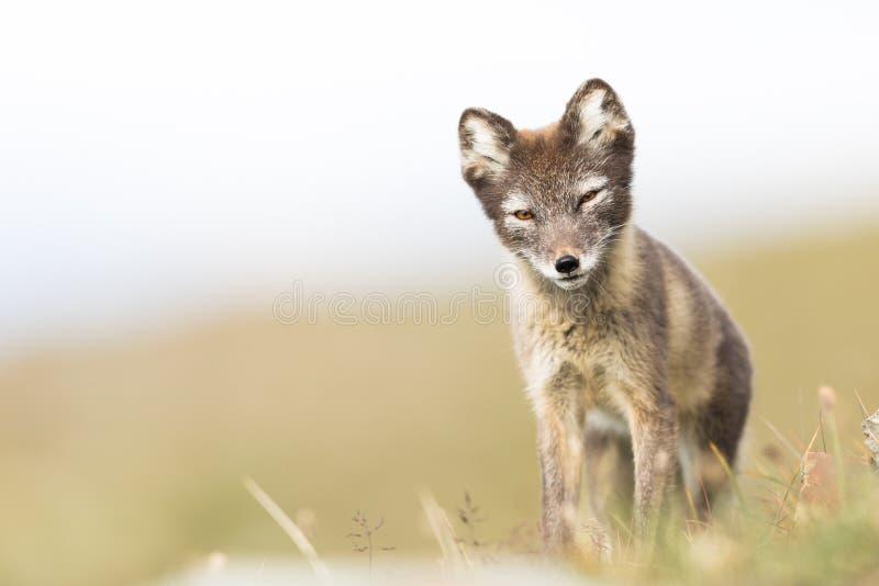 Raposa ártica nova curiosa que está e que olha na câmera Svalbard imagem de stock