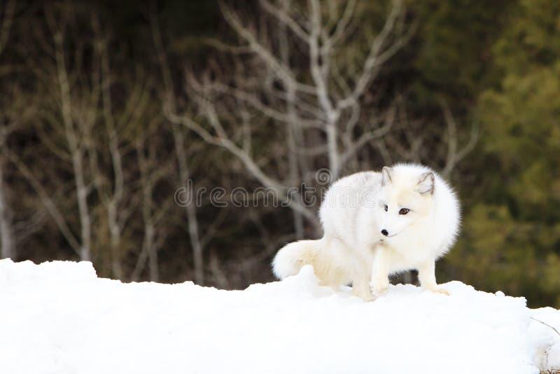 Raposa ártica que procura o alimento imagem de stock