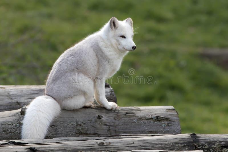 Raposa ártica que senta-se em um log imagem de stock royalty free