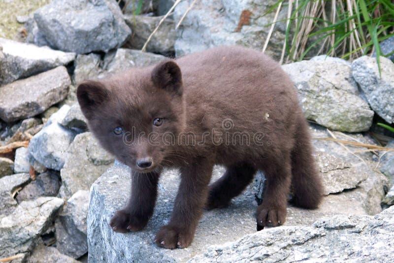 Raposa ártica, raposa polar (região selvagem inexplorada) fotos de stock royalty free