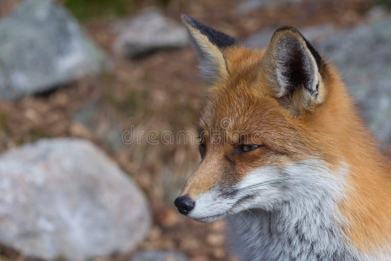 raposa fotos de stock
