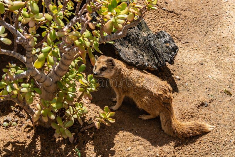 A raposa africana é um animal escondido, cowardly imagem de stock royalty free