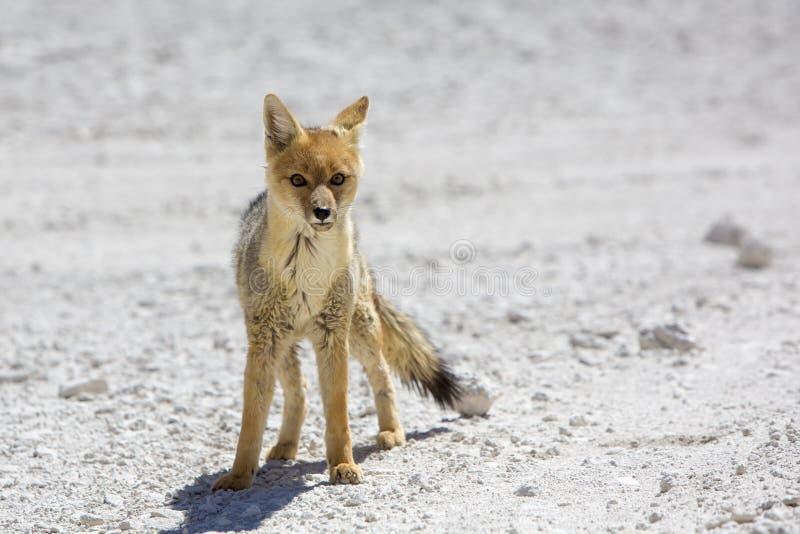 A raposa andina do Chile, deserto de Atacama imagens de stock royalty free