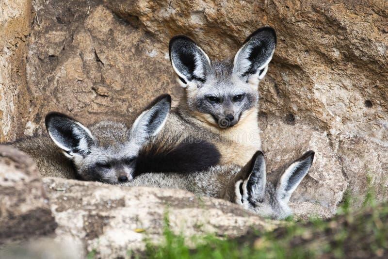 raposa Bastão-orelhuda imagens de stock