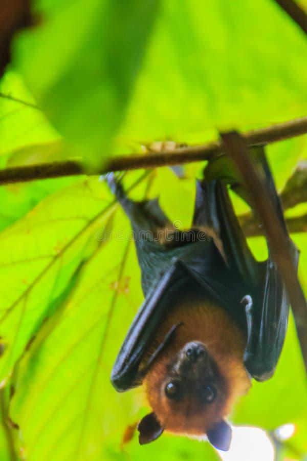 Raposa de voo de Lyle, vampyrus do Pteropus, lylei do Pteropus ou Khangka fotos de stock