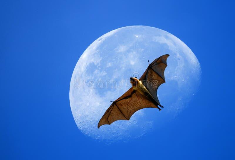 Raposa de voo na lua fotografia de stock royalty free