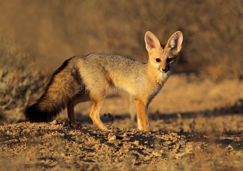 Raposa do cabo, deserto de Kalahari, África do Sul imagens de stock