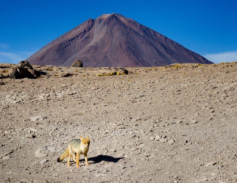 Raposa do deserto no exterior seco fotografia de stock