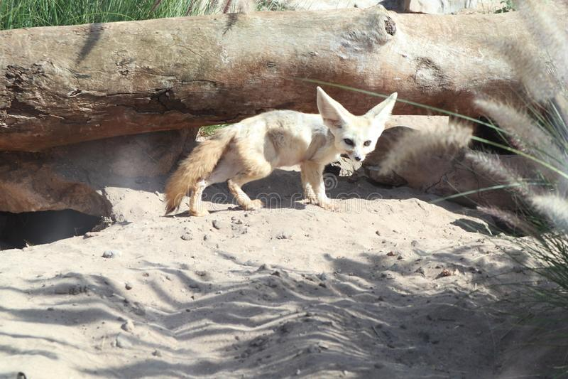 Raposa pequena que está na areia foto de stock