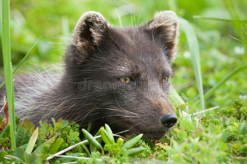 Raposa polar, comandante Islands foto de stock royalty free