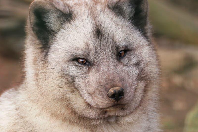 Raposa polar da cara foto de stock royalty free