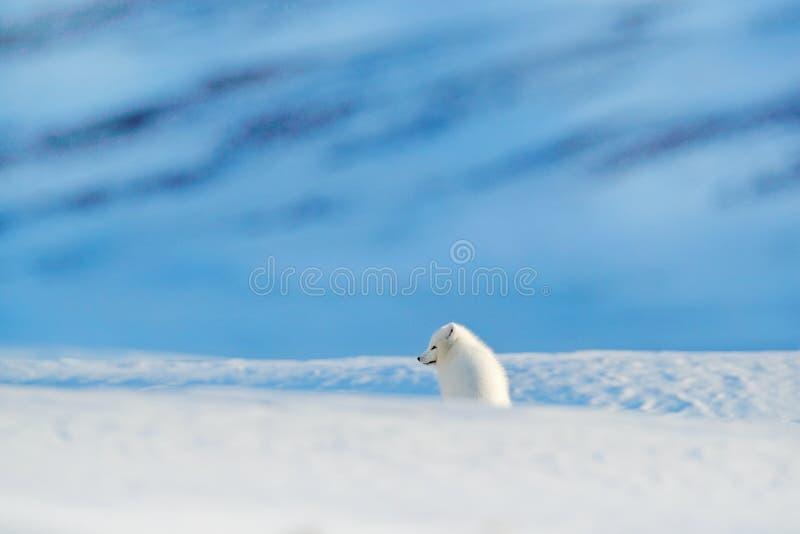 Raposa polar no habitat, paisagem do inverno, Svalbard, Noruega Animal bonito na neve Raposa running Cena da ação dos animais sel foto de stock