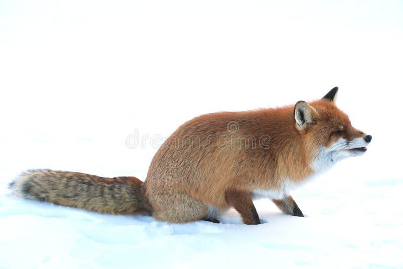 Raposa selvagem imagem de stock