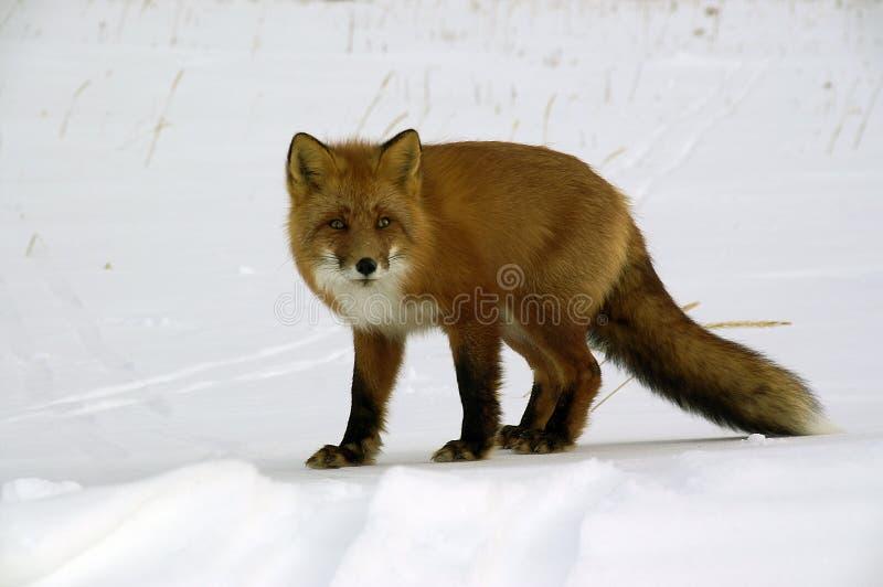 Raposa vermelha. fotos de stock