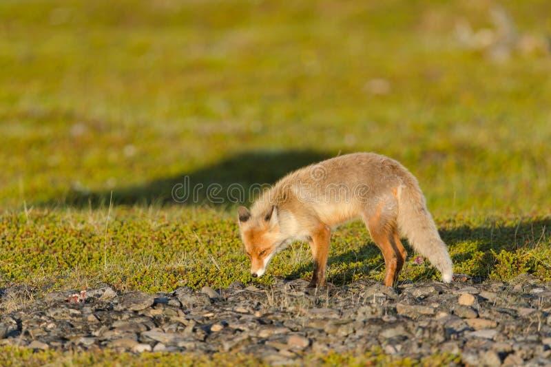 Download Raposa vermelha imagem de stock. Imagem de prado, animal - 26521205