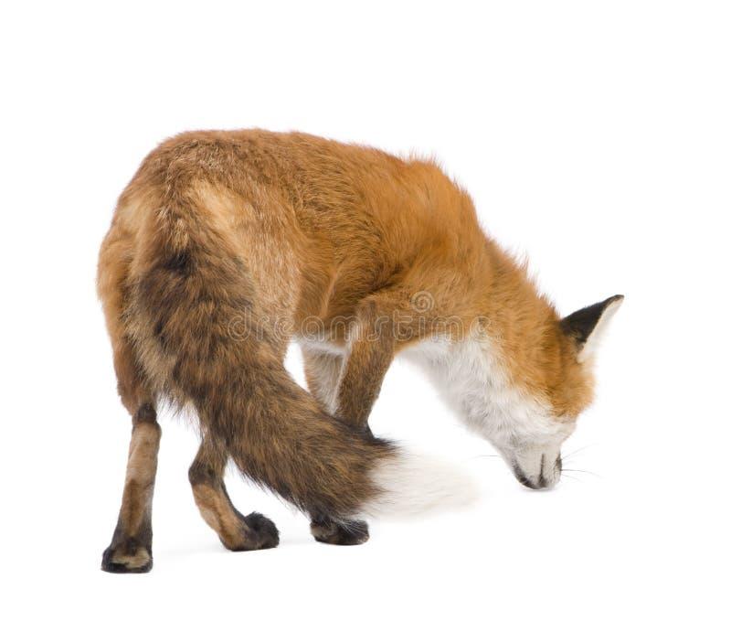 Raposa vermelha (4 anos) - vulpes do Vulpes imagem de stock