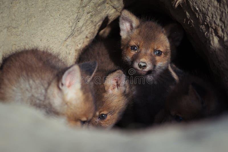 A raposa vermelha europeia bonita cubs perto da toca fotografia de stock royalty free