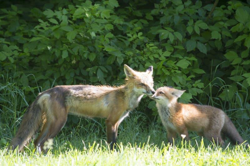 Raposa vermelha fêmea com seus jovens fotografia de stock royalty free