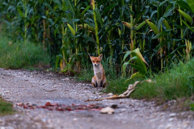 Raposa vermelha juvenil nova, pequena no trajeto do cascalho na borda de um campo de milho fotos de stock