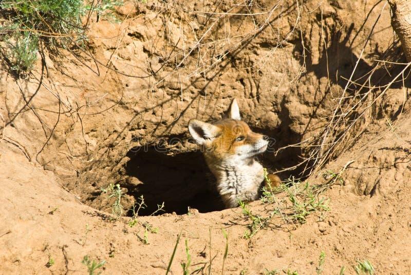 Raposa vermelha nova fotografia de stock