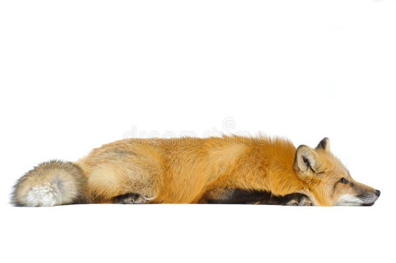 Raposa vermelha que coloca em linha reta fotografia de stock royalty free