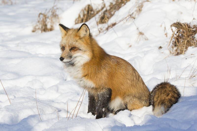 Raposa vermelha que senta-se na neve fotografia de stock royalty free