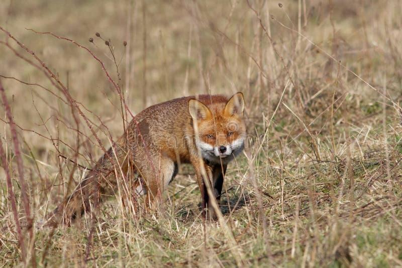 Raposa vermelha (vulpes do Vulpes) fotos de stock royalty free