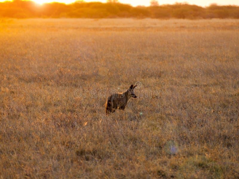 raposas Bastão-orelhudas imagem de stock