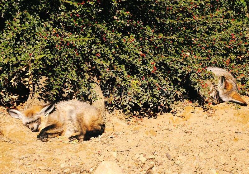 raposas Bastão-orelhudas (megalotis de Otocyon) fotos de stock