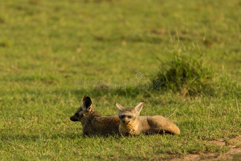 raposas Bastão-orelhudas que descansam na grama fotos de stock royalty free