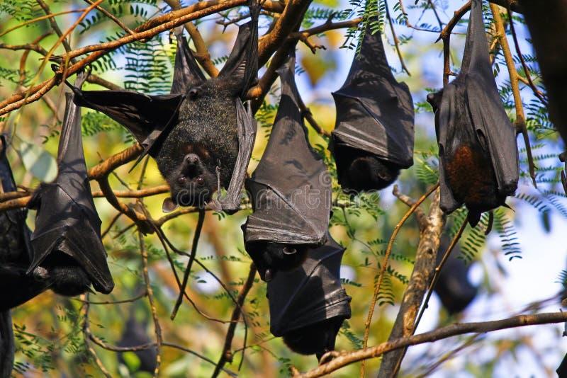 Raposas de voo - golpeie a suspensão em um ramo de árvore fotos de stock royalty free