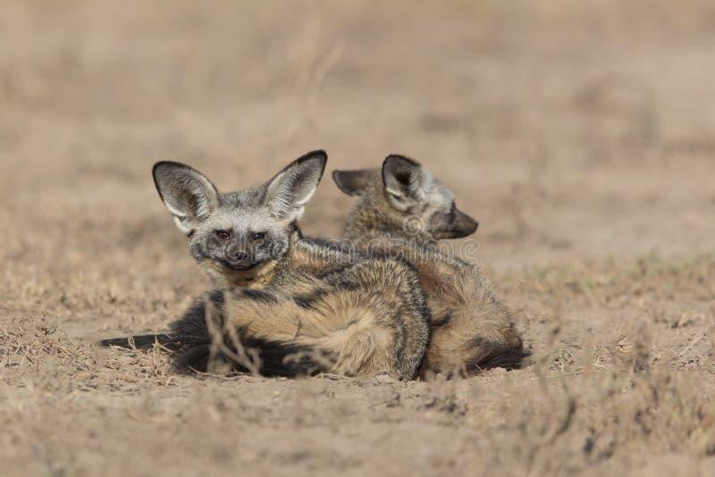 Raposas orelhudas do bastão no Serengeti, Tanzânia fotos de stock royalty free