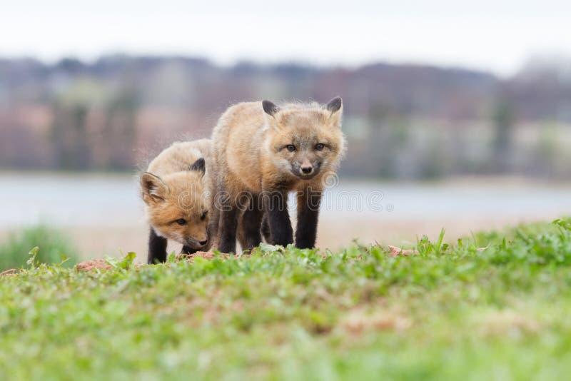Raposas vermelhas do bebê imagens de stock royalty free