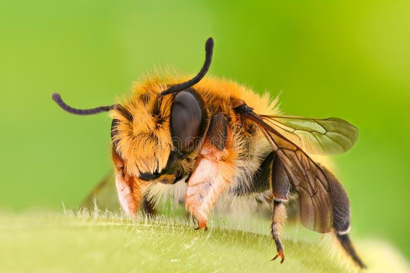 Rapport optique extrême - abeille de solitaire, Megachilidae images stock