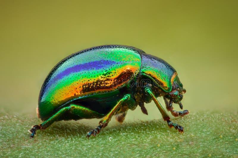 Rapport optique extrême - scarabée vert de bijou images stock