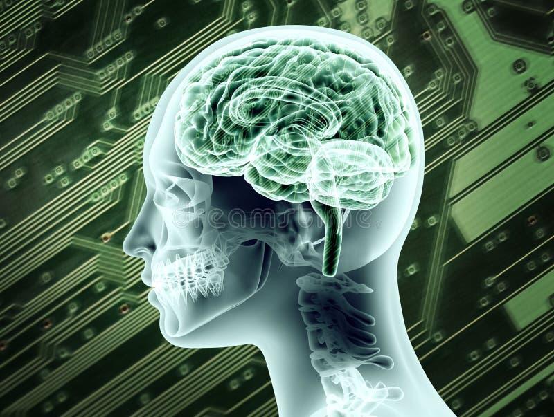 Rappresentazione indicativa di anatomia femminile del cervello illustrazione vettoriale