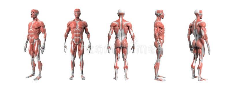 Rappresentazione muscolare del sistema 3d di anatomia umana royalty illustrazione gratis