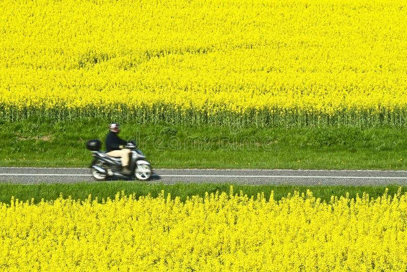 Download Rapse stock image. Image of road, yellow, rapse, danish - 27128399