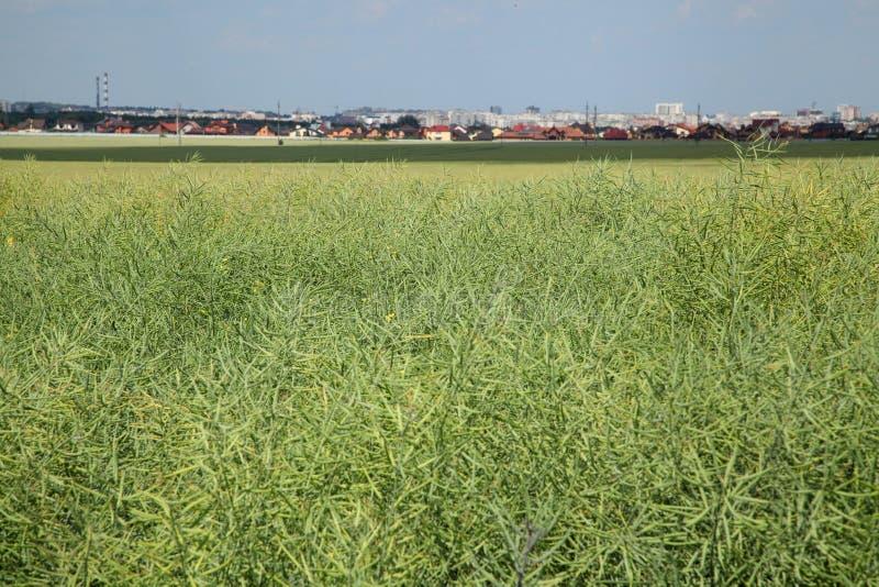 Rapseed fält i solen med blå himmel och fluffiga moln Växter och blåttsky arkivbilder
