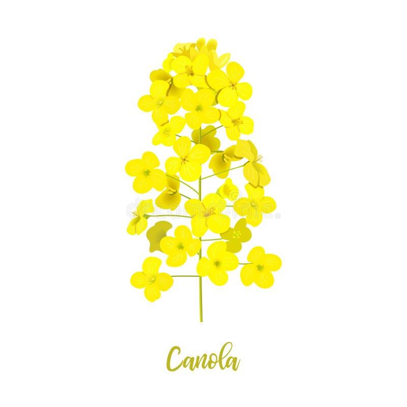Rapsfröblomning som isoleras på vit Blomma Canola eller rapsfrö Brassicanapus Att blomma våldtar gula blommor V?r royaltyfri illustrationer