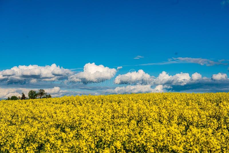 Rapssamen bloominf gelbe Felder im Fr?hjahr unter blauem Himmel im Sonnenschein lizenzfreies stockfoto