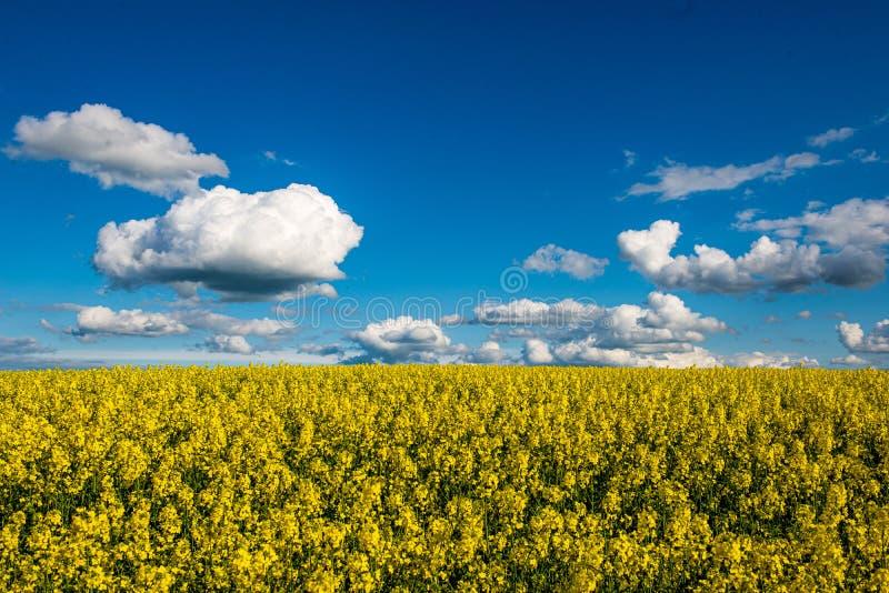 Rapssamen bloominf gelbe Felder im Fr?hjahr unter blauem Himmel im Sonnenschein stockbild
