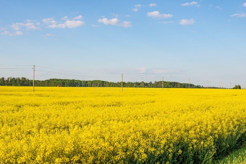 Rapssamen bloominf gelbe Felder im Fr?hjahr unter blauem Himmel im Sonnenschein stockfoto