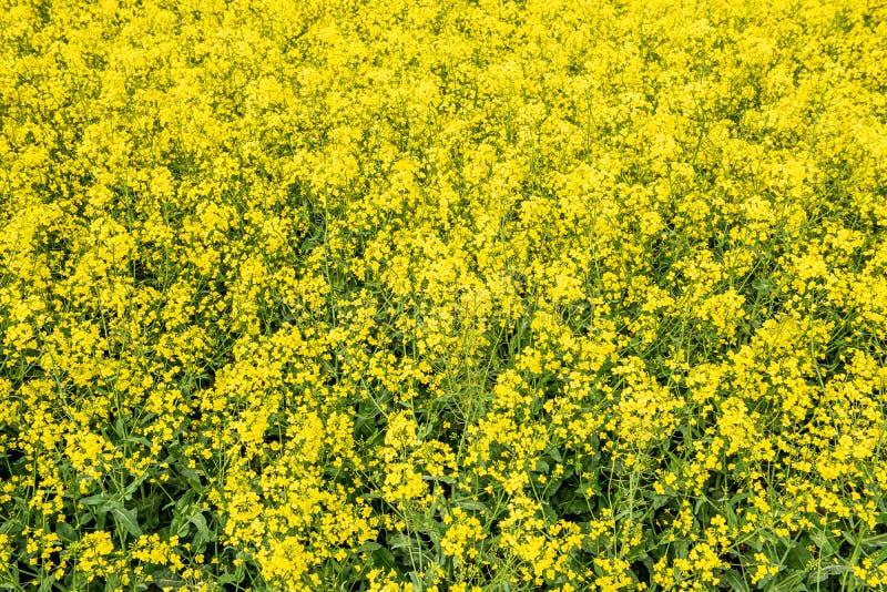 Rapssamen bloominf gelbe Felder im Fr?hjahr unter blauem Himmel im Sonnenschein stockfotos