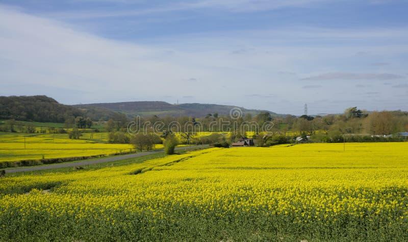 Rapssamenfelder, Sussex lizenzfreie stockbilder