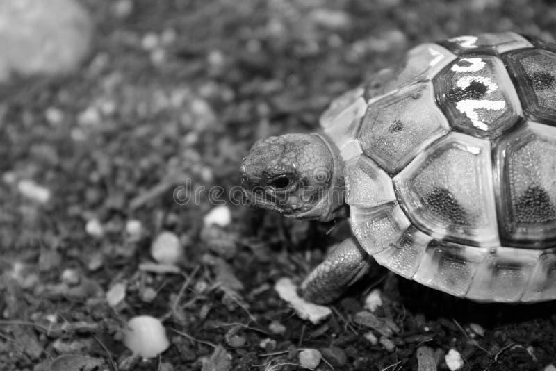Raptiles dell'animale domestico di terrario della tartaruga piccoli tropicali immagini stock libere da diritti