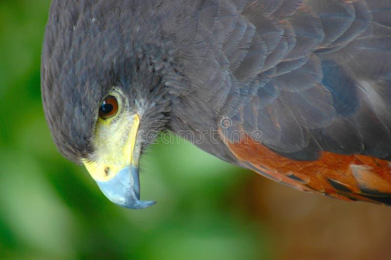 raptor fotografia stock