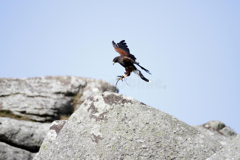Raptor Coming into Land. Harris Hawk coming into land on Bonehill Rocks, Dartmoor stock photos