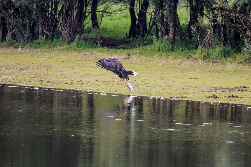 White-tailed eagle struggling with fish near river IJssel, Holland stock photography