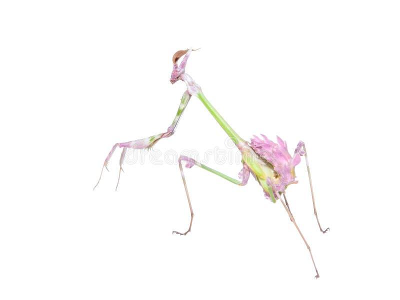 Raptorial insectbidsprinkhanen met spiked voorpoot stock afbeelding